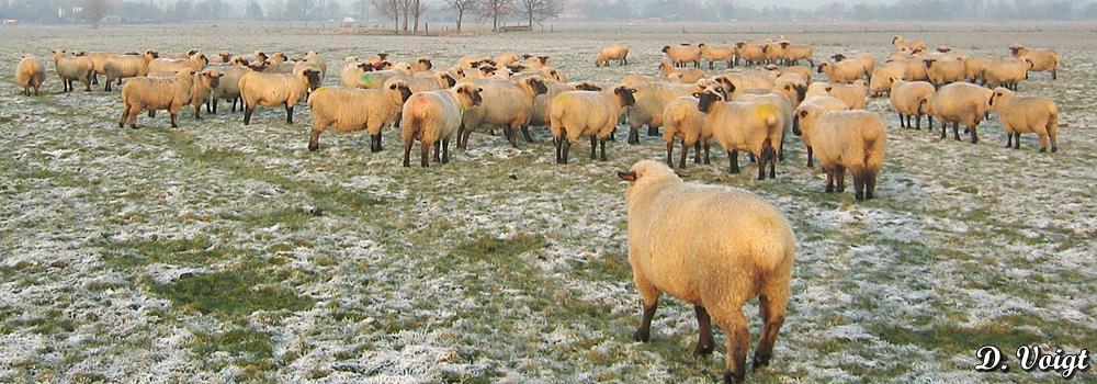 Schaf_Winter_Schafzuchtzuchtverband_Niedersachsen_SKF_IMG_3672.jpg