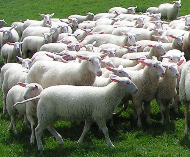 Umfrage zur Schaf- und Ziegenmilcherzeugung