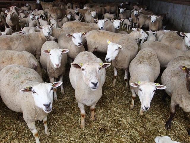 Ohrmarken für Schafe und Ziegen: Beihilfeantrag stellen