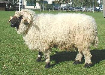 Schafzuchtverbände Niedersachsen Schafzuchtverbände Niedersachsen