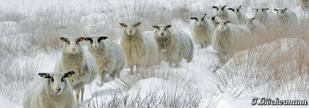Schaf_Winter_Schafzuchtzuchtverband_Niedersachsen_Bentheimer_Winter_2010_1.jpg
