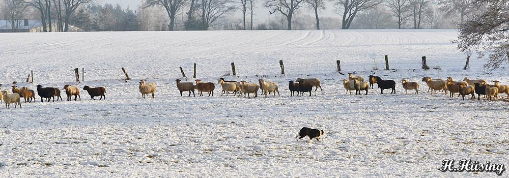 Schaf_Winter_Schafzuchtzuchtverband_Niedersachsen_DSC_0162.JPG