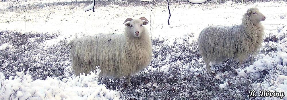 Schaf_Winter_Schafzuchtzuchtverband_Niedersachsen_WGH_im_Schnee.jpg